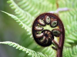 NZ Fern