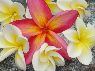 Monster Frangipani Sigatoka Home