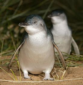 Little Penguins | WorldMark South Pacific Club by Wyndham