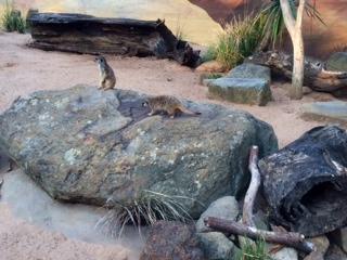 The cheeky meerkats