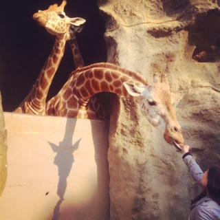 Feeding Jimmy the giraffe
