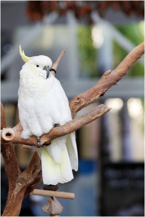 Bozo, the resident cockatoo at Ramada Port Douglas