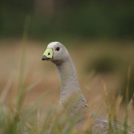 Cape Barren Goose - Tasmania Maria Island