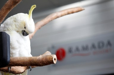 Beloved Bozo, Resident cockatoo at Ramada Port Douglas for over twenty years.