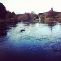 swans Rotorua